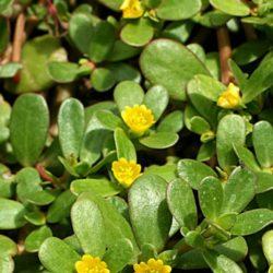 Portulaca Oleracea - una pianta grassa per la nostra salute quotidiana
